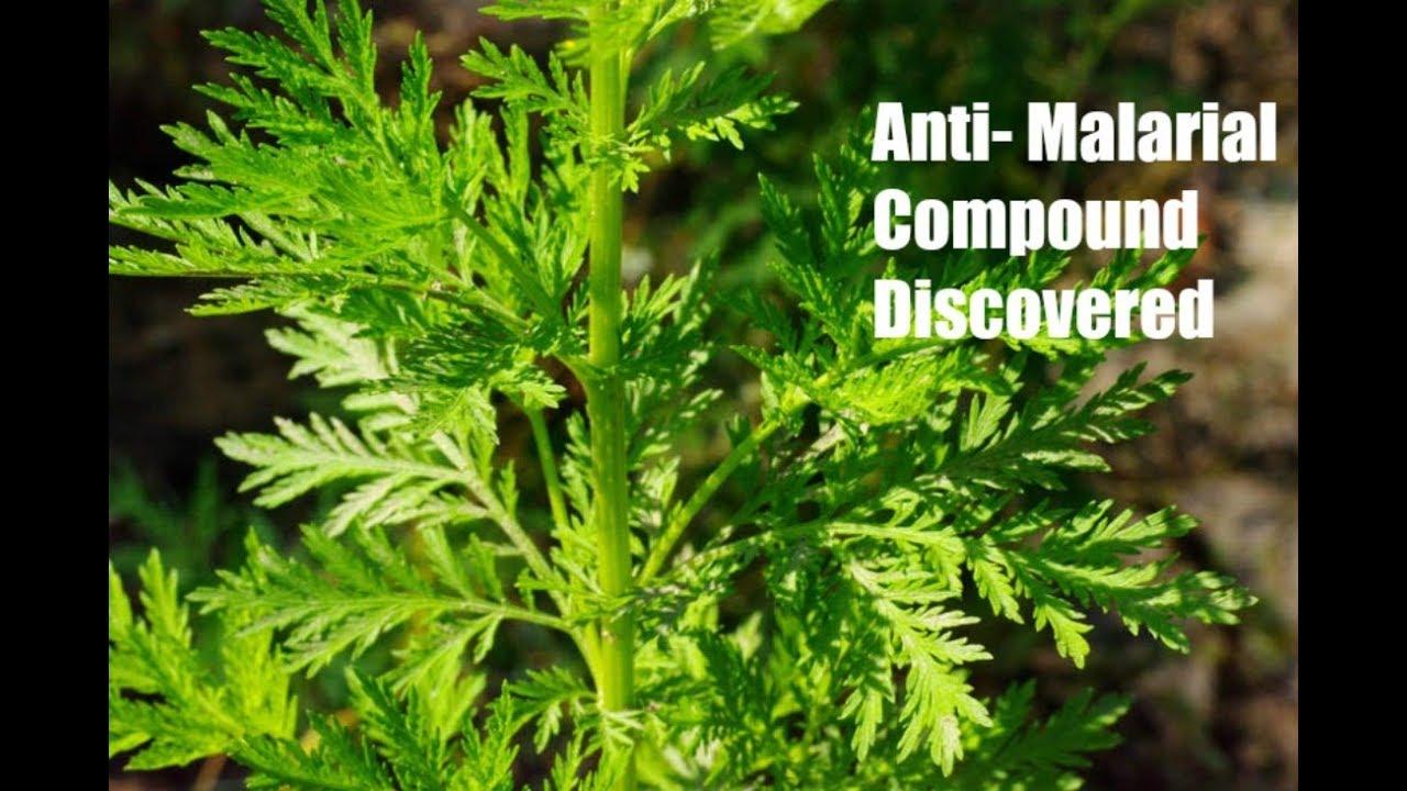 az artemisia annua parazitái villous papilloma meghatározása