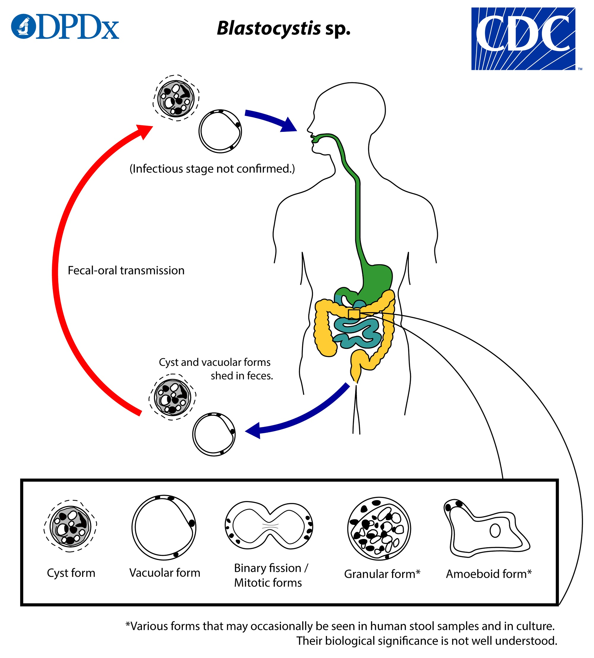 Blastocystis hominis bél paraziták