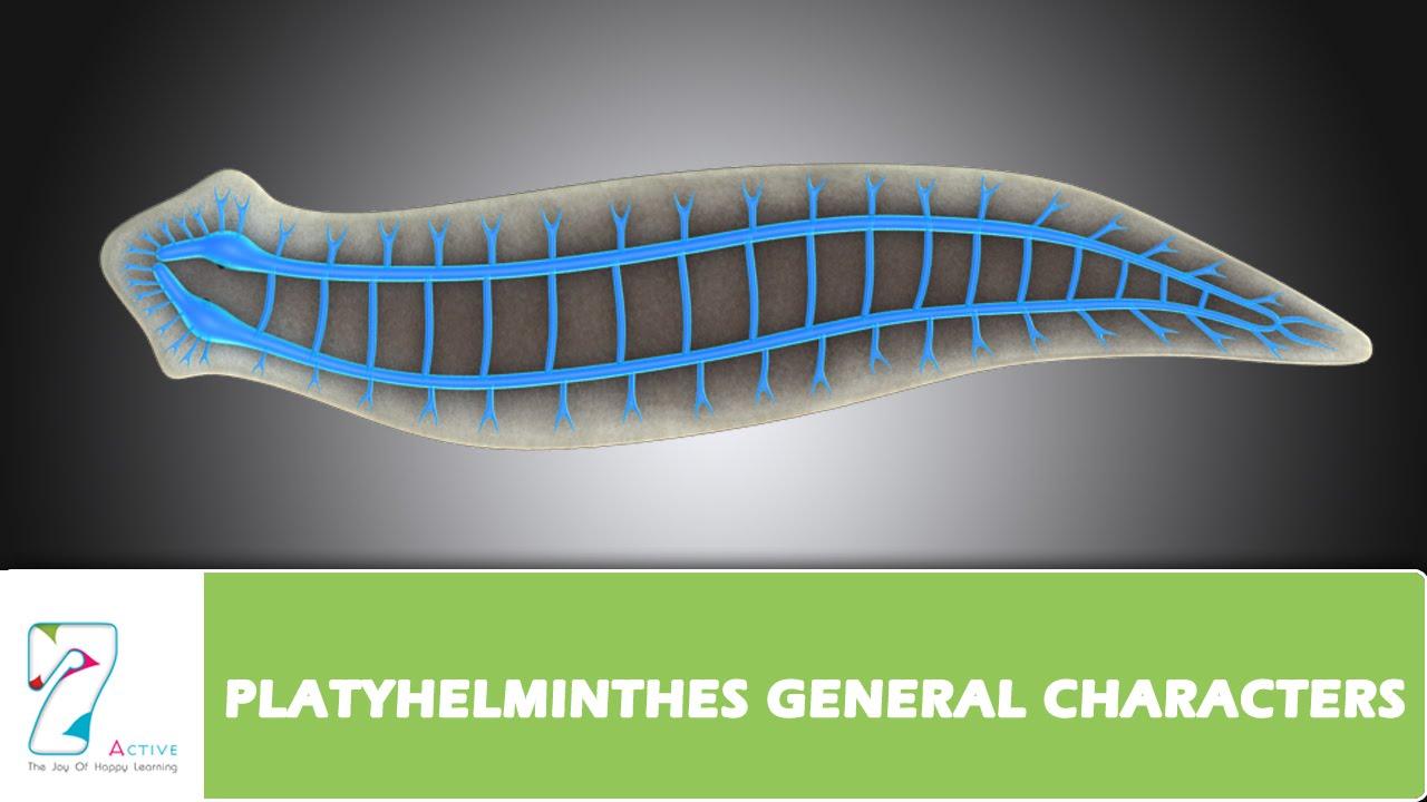 manhat filum platyhelminthes