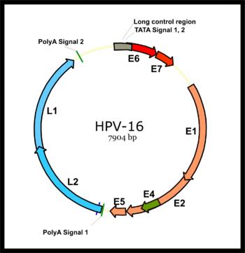 humán papillomavírus vírusgenom