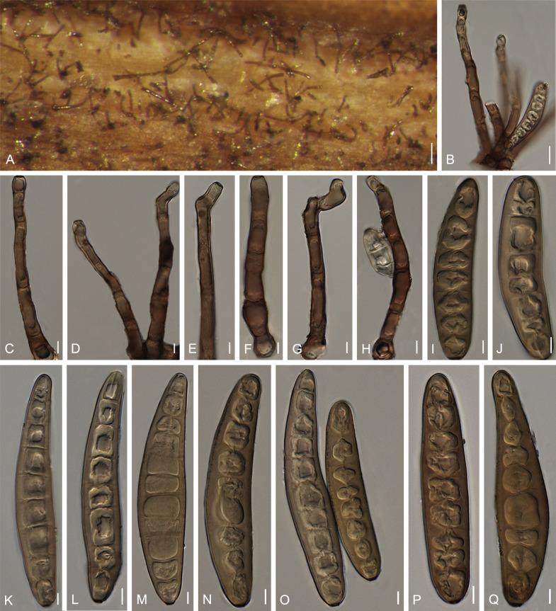 helminthosporium sacchari