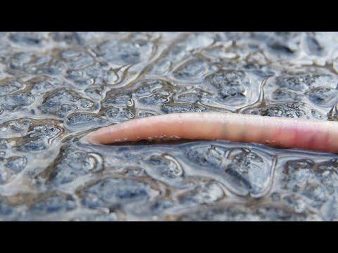 hogyan lehet megszabadulni az extraintesztinális parazitáktól