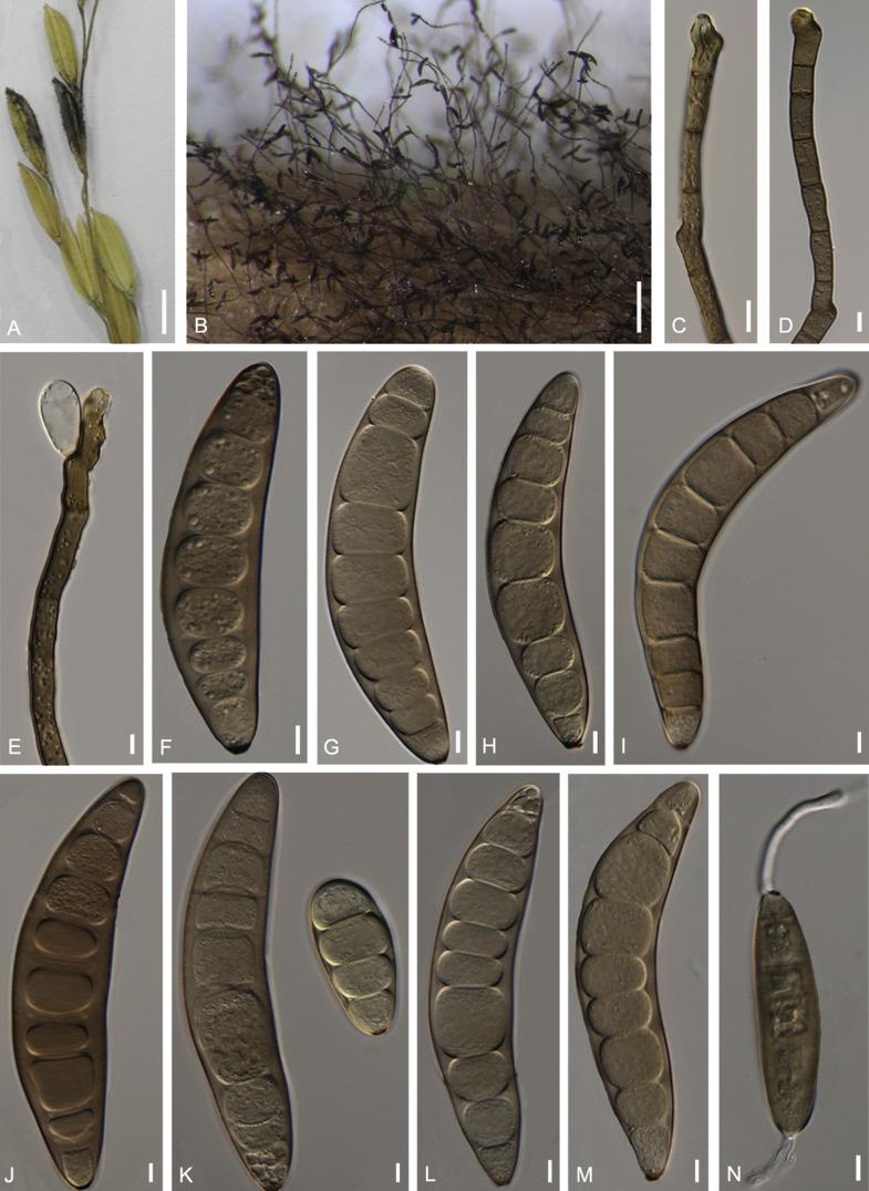 Helminthosporium incurvatum