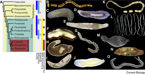 dal platyhelminthes