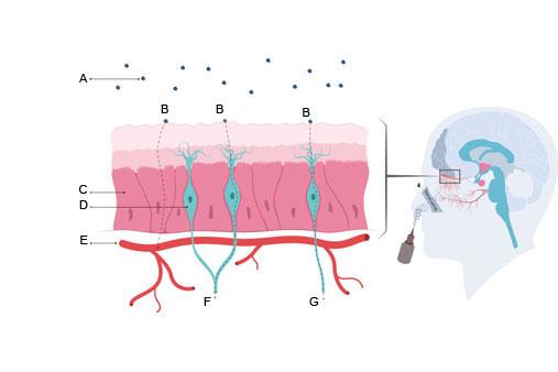 petefészekrák xenograft modell