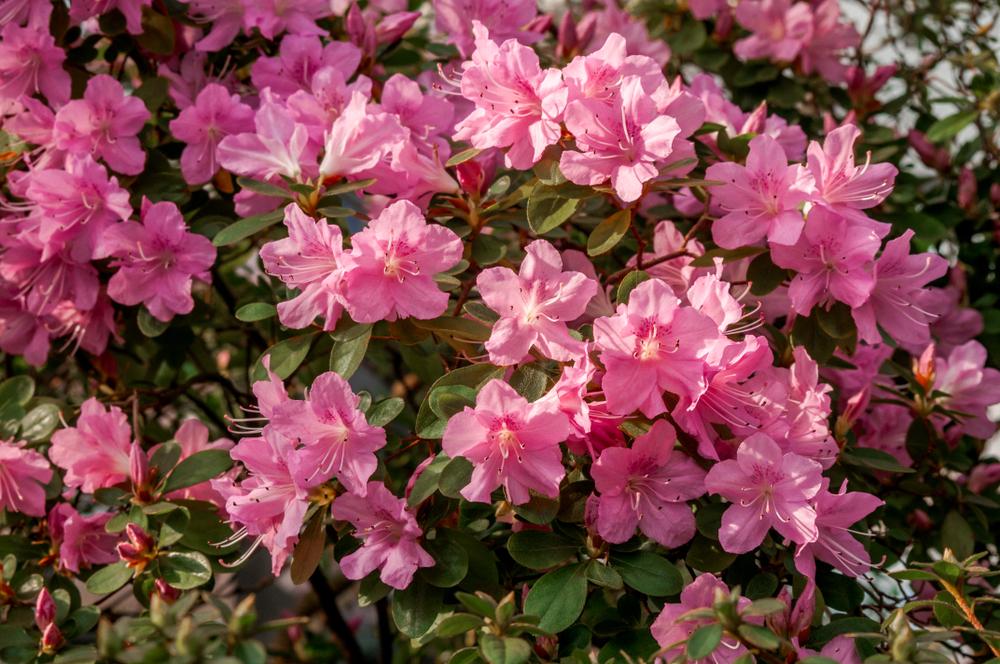 rózsaszínű babér toxin
