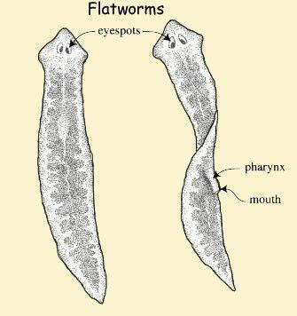 endoparazita parazitoidok papilloma a caes-ben
