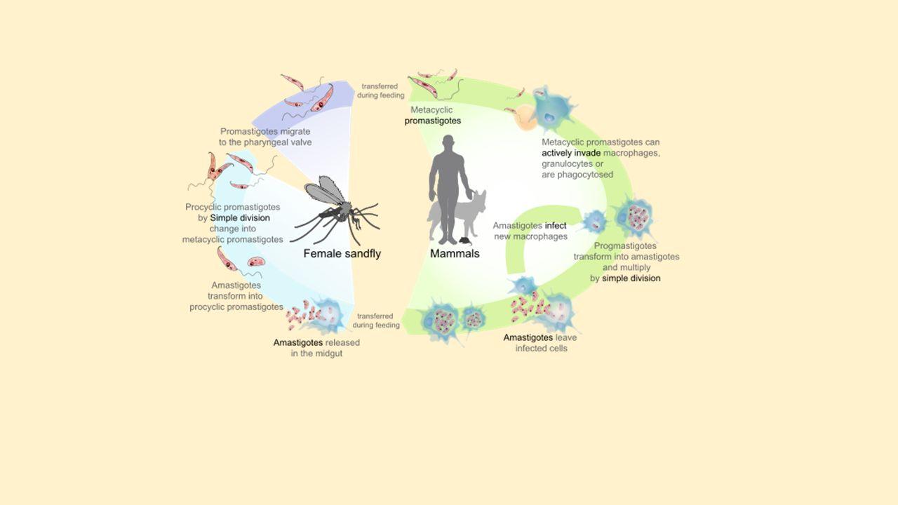 emberek a protozoon paraziták ellen