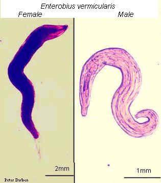 Enterobius vermicularis jellemzői, morfológiája, életciklusa, fertőzés - Az enterobiosis jellemzői