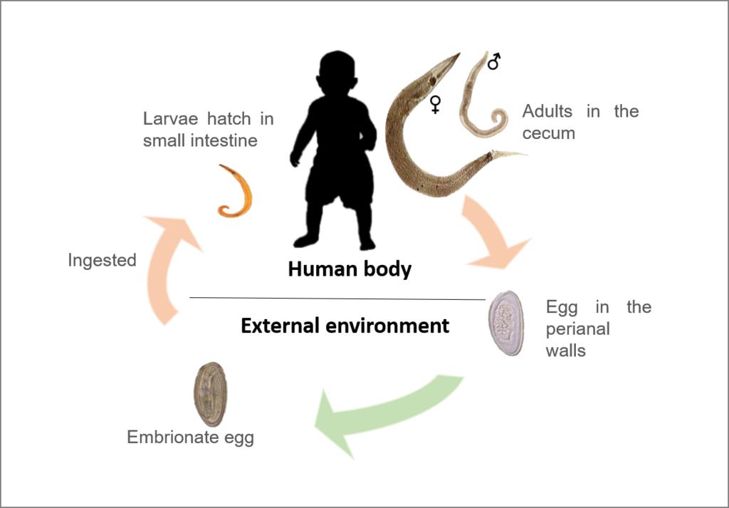 enterobius vermicularis zivotni ciklus)