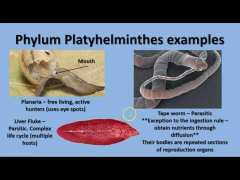 Platyhelminthes, fonálférgek és annelida Laposférgek