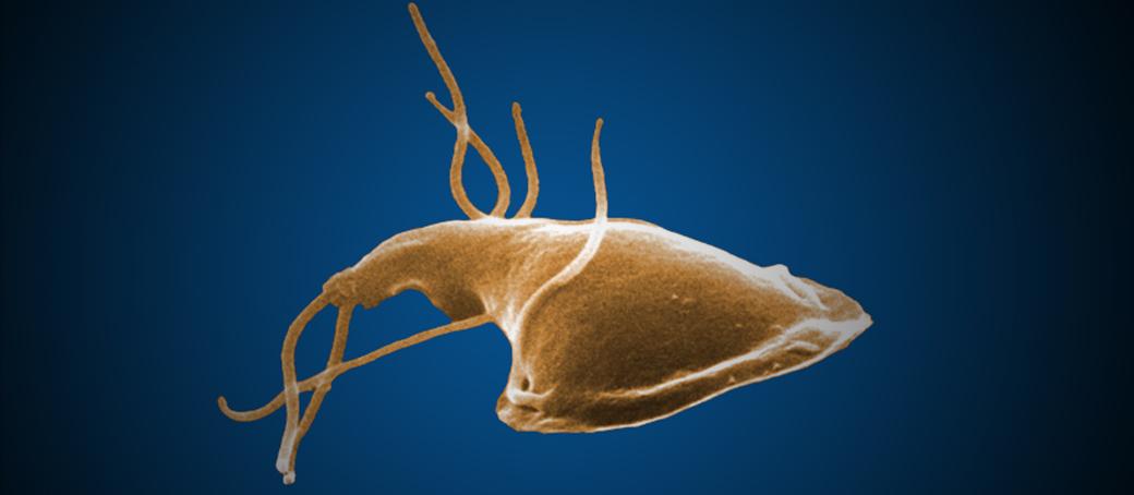 Giardiasis tünetei és kezelése - HáziPatika, A lamblia helmintikus fertőzése