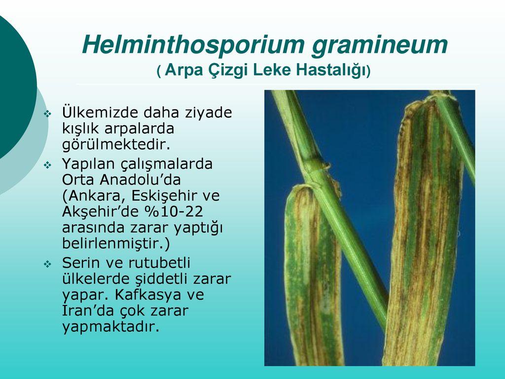 helminthosporium gramineum árpa őrült a gombákért 3