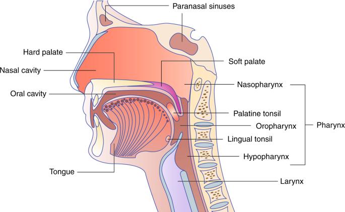 humán papillomavírus l lizin)