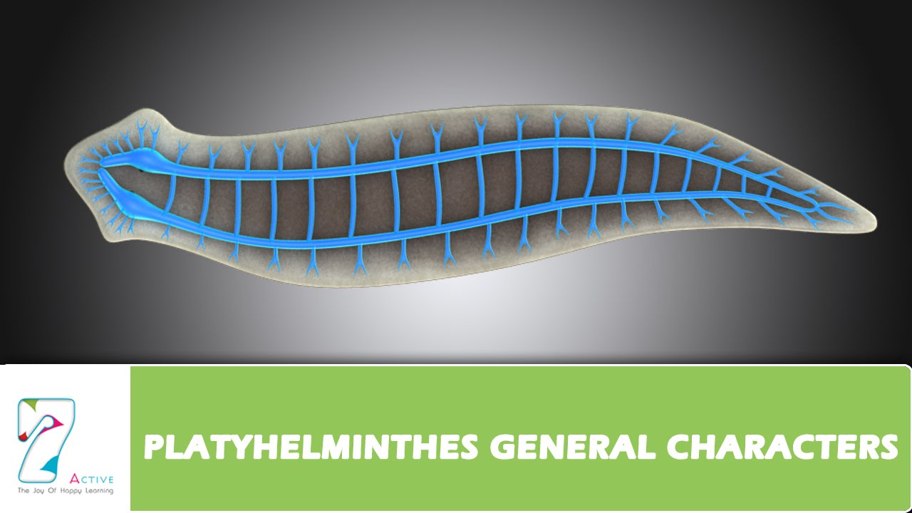 manhat filum platyhelminthes