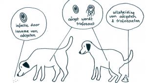 Giardia bacterie bij honden - Giardia mensen behandeling