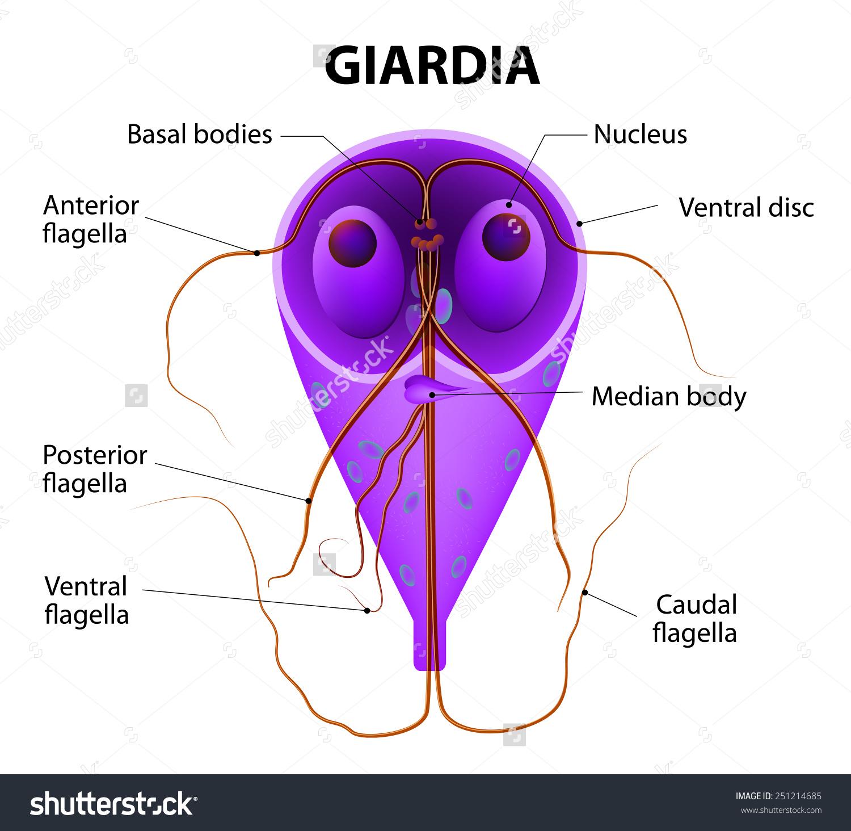 protozoon hasmenés giardia