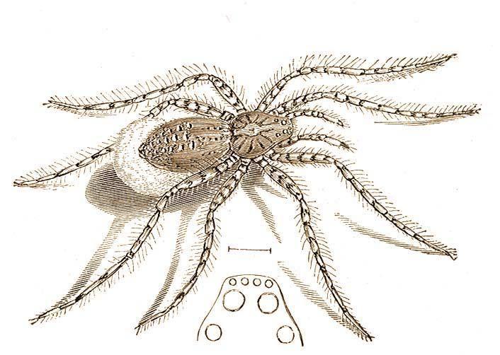 hasonló színű pók