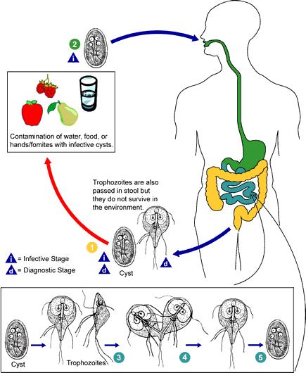 Giardiasis tünetei és kezelése Giardia kezelése