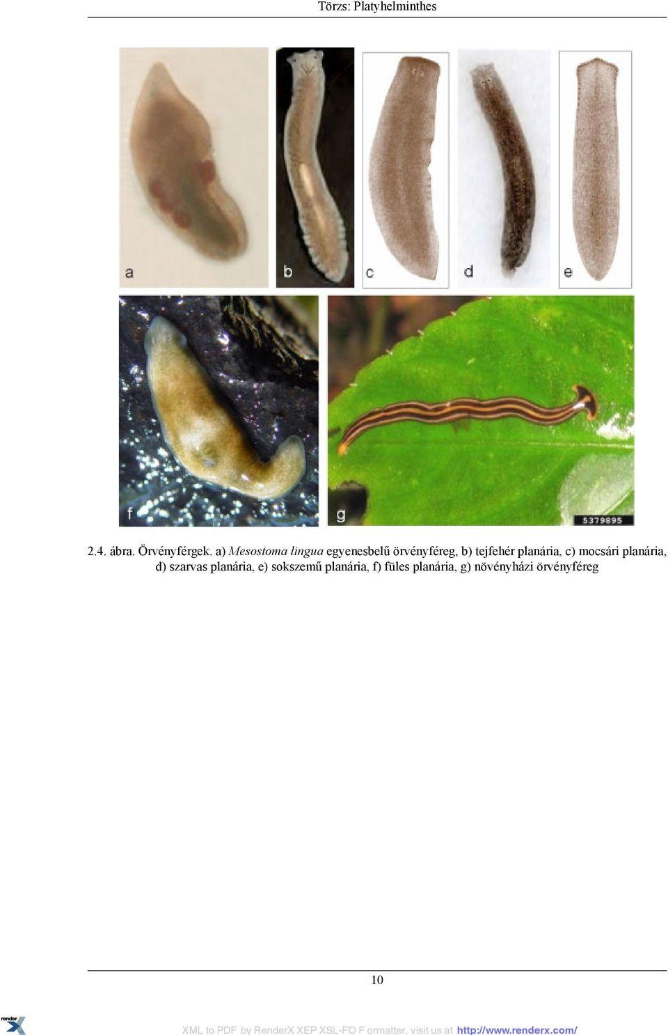 Hogyan kezeli a férgeket felnőtteknél, Paraziták a retinán