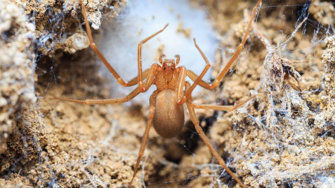 Kellemetlen tüneteket okoz a nálunk alig ismert pók csípése
