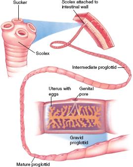 Platyhelminthes scolex és proglottidok. Pin on Phylum Platyhelminthes