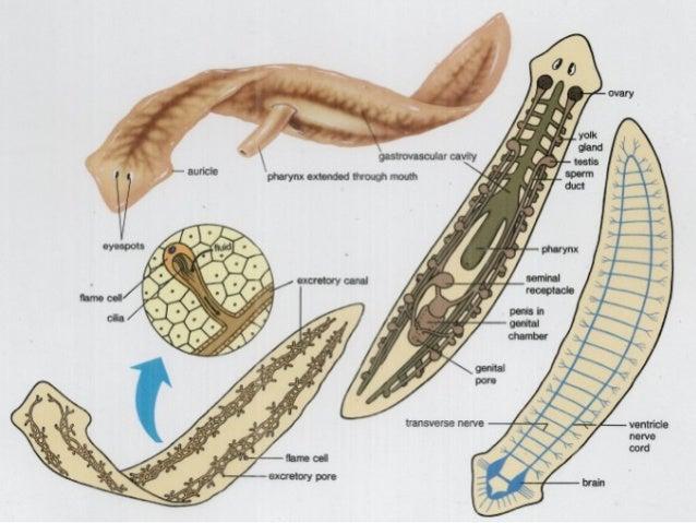 phylum platyhelminthes grafikus féreg
