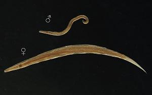pinworm morfológia)