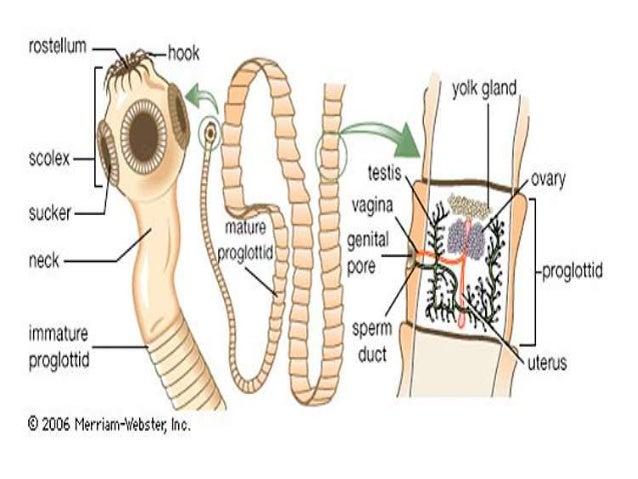 paraziták a terhes nők kezelésében pinworm család