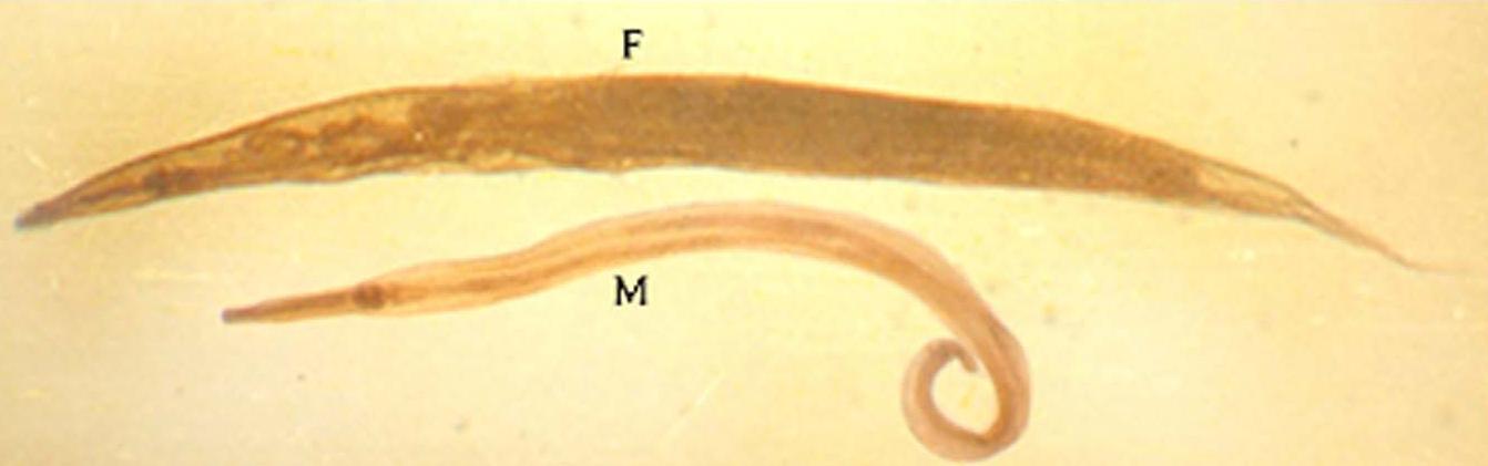 enterobius vermicularis perianal)