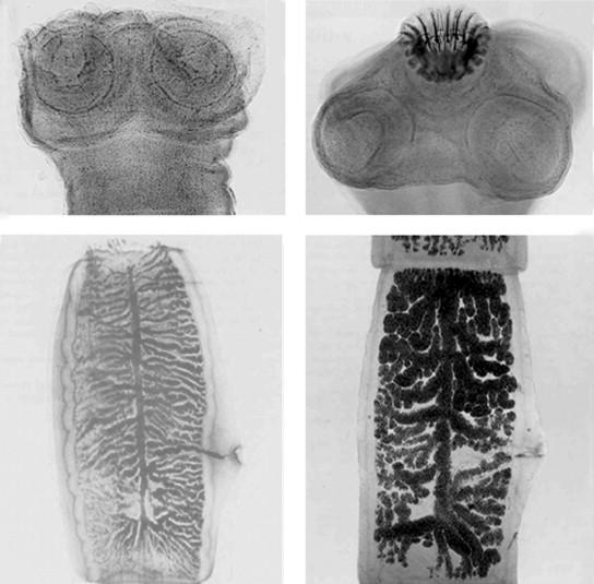 pinworms kezelés nitazoxanid)