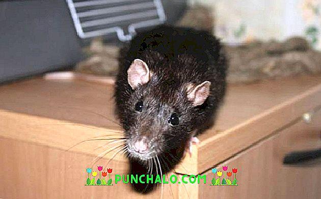 patkánnyal történő fejlődés