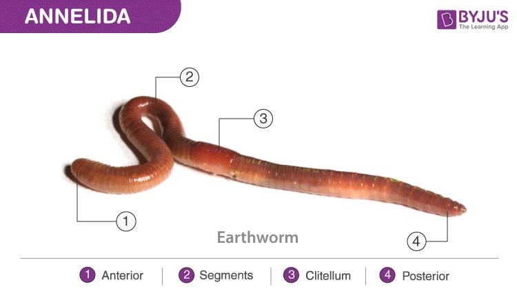 aschelminthes kép
