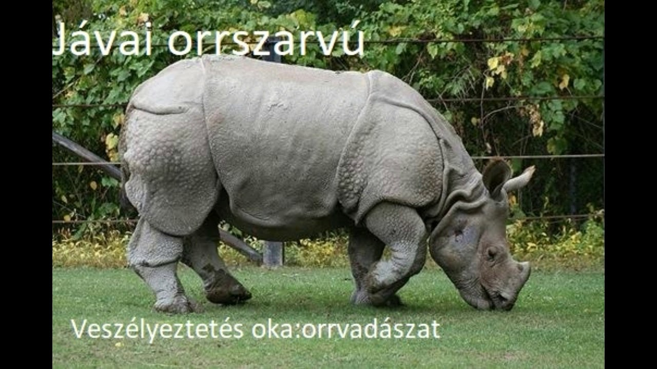 vermox orrszarvú)
