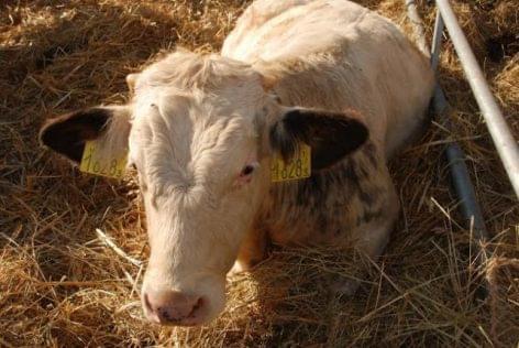 fertőzés és a szarvasmarha galandféreg megelőzése