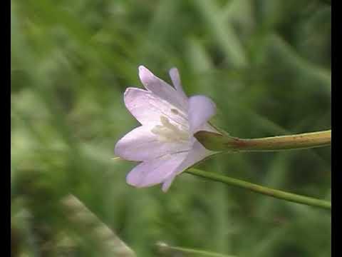 parazita virágok orvossága