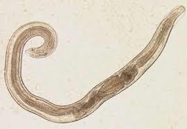 enterobius vermicularis biológia amikor a szemölcsök megégnek