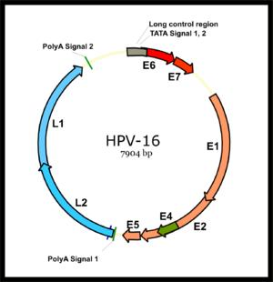rosszindulatú betegséghez kapcsolódó hpv típusok)