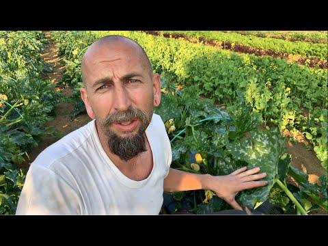 A cukkini paraziták kezelése, Kwizda Agro