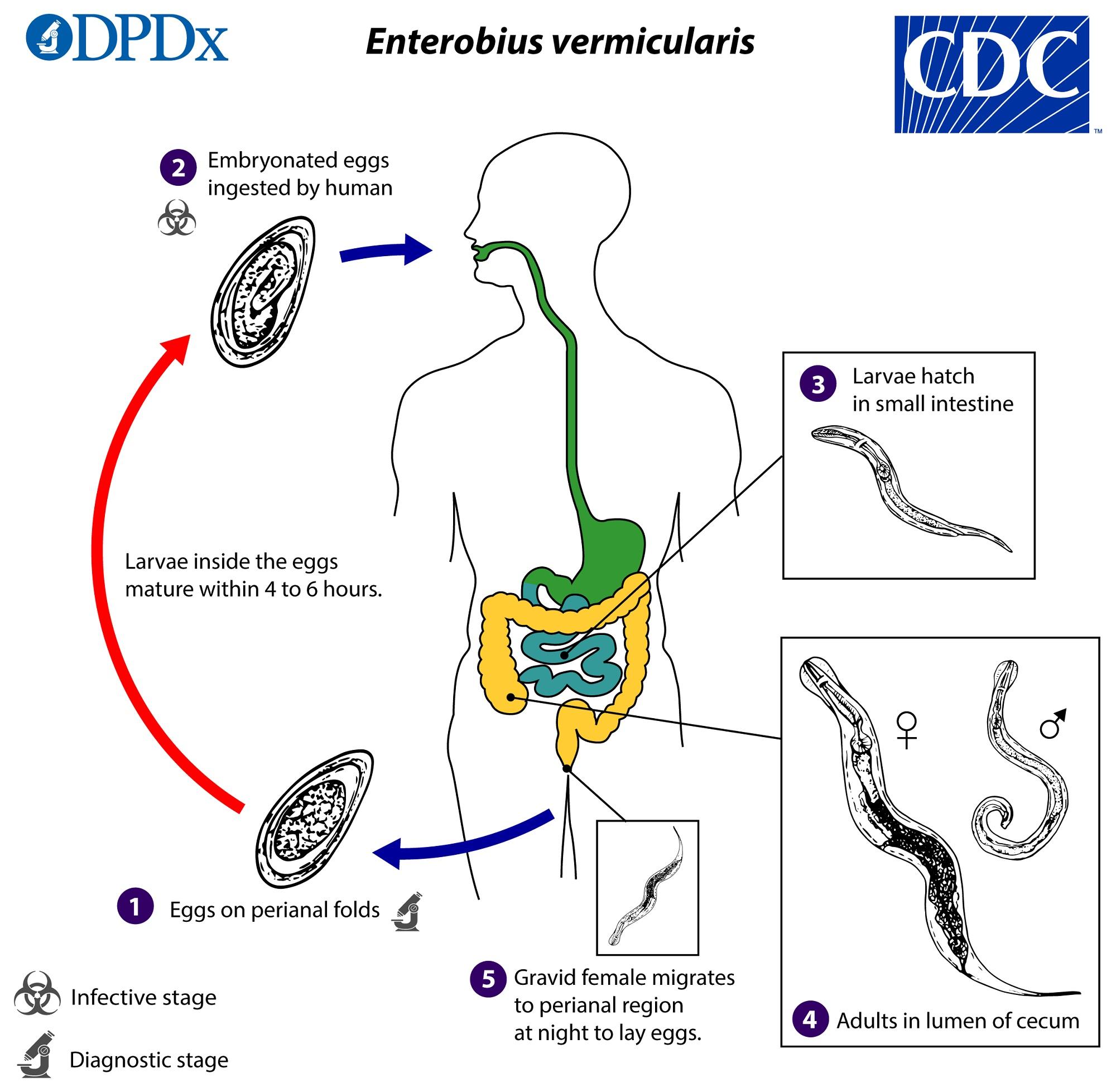 enterobius vermicularis rki parazitákkal fertőzött madárfiókák
