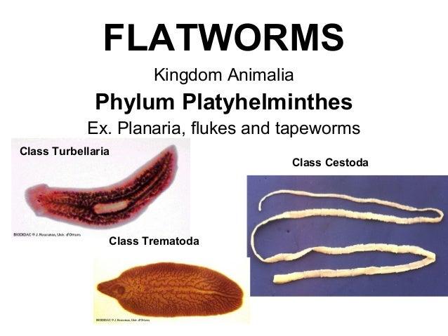 phylum platyhelminthes ppt
