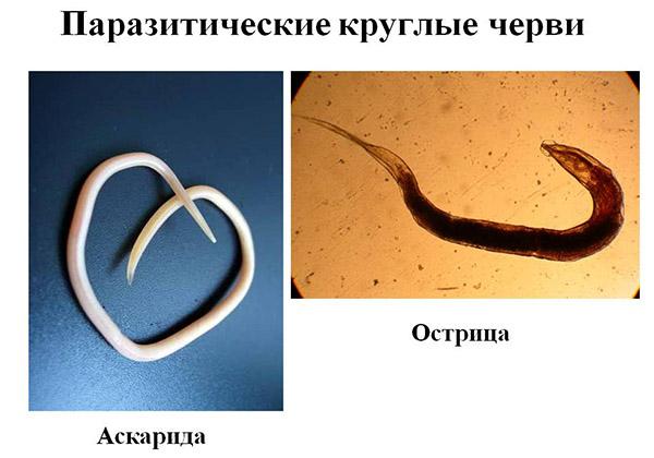 Helmintikus fertőzés a székletben - Calicivirus fertőzés - Budai Egészségközpont