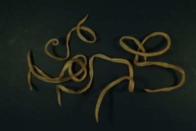Pinworms testhossza, Földigiliszták életmód
