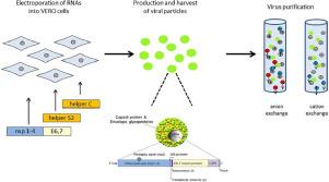 papilloma vírus in vitro