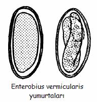 Enterobius vermicularis kind