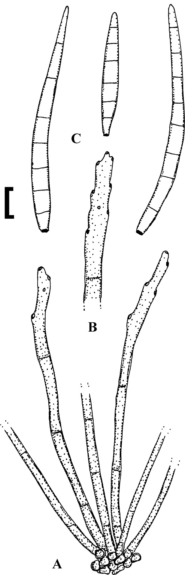 Helminthosporium sativum, A szántóföldi növények betegségei