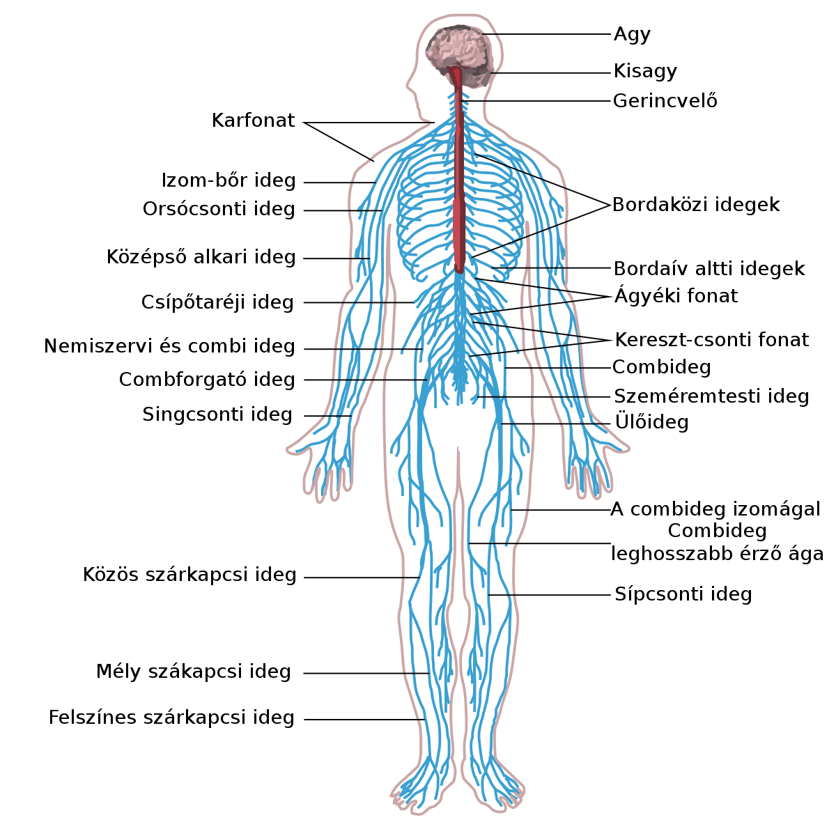 emberi papillomavírus fertőzés terhességgel a bentonit agyag vastagbél méregtelenítése