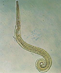 pszichoszomatikus pinworm)